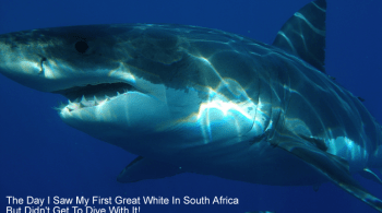 Great white shark story - The day I saw my first great white shark in South Africa