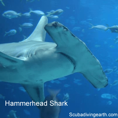Hammerhead shark on deep dive Elphinestone reef