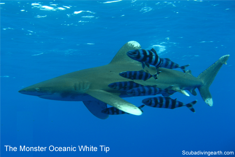 The monster Oceanic White Tip on a drift dive