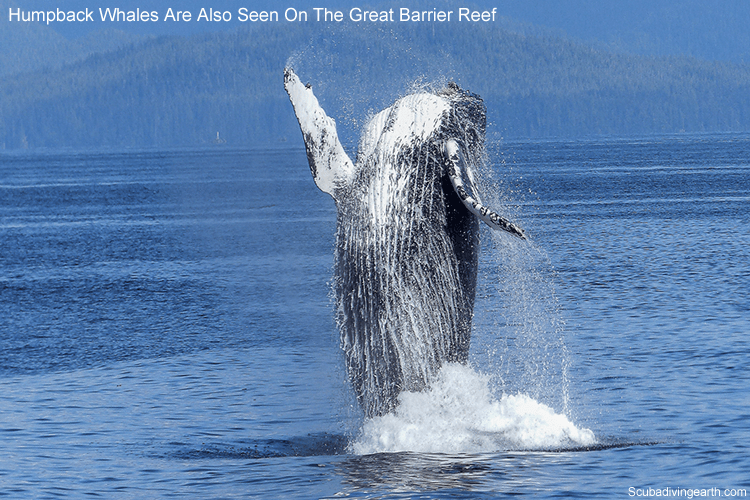 Humpback whales are seen as well as Dwarf Minke Whales on the Great Barrier Reef