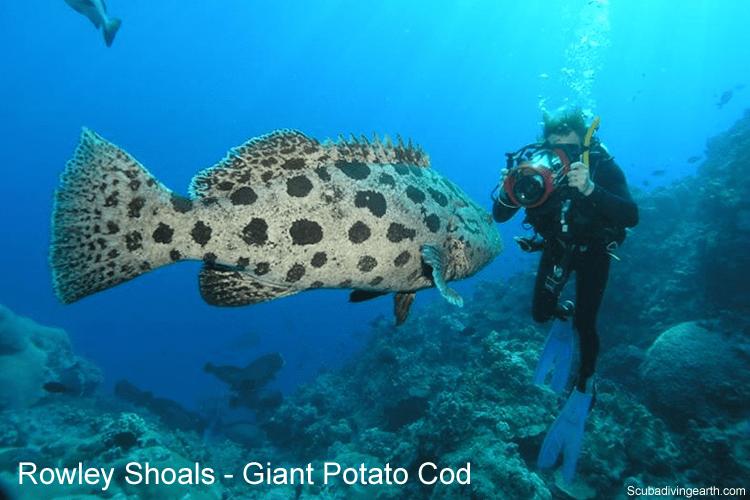Rowley Shoals - Giant Potato Cod