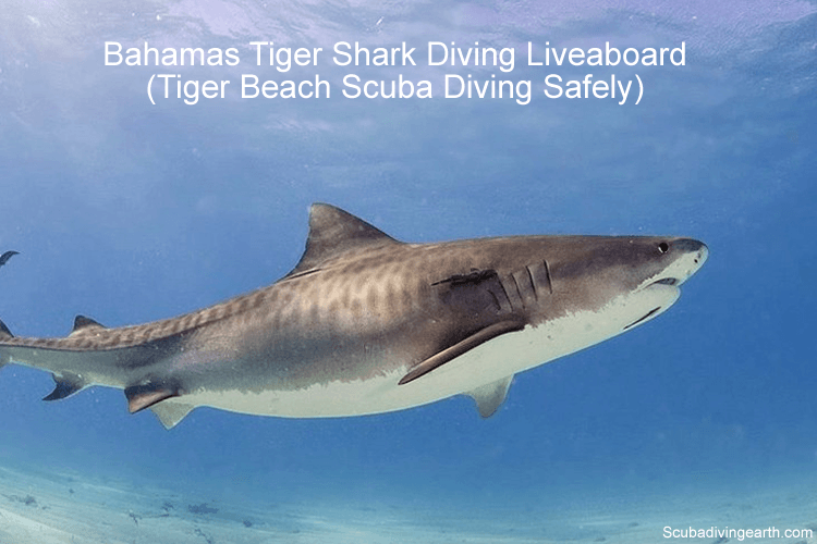 Bahamas Tiger Shark Diving Liveaboard -Tiger Beach Scuba Diving Safely