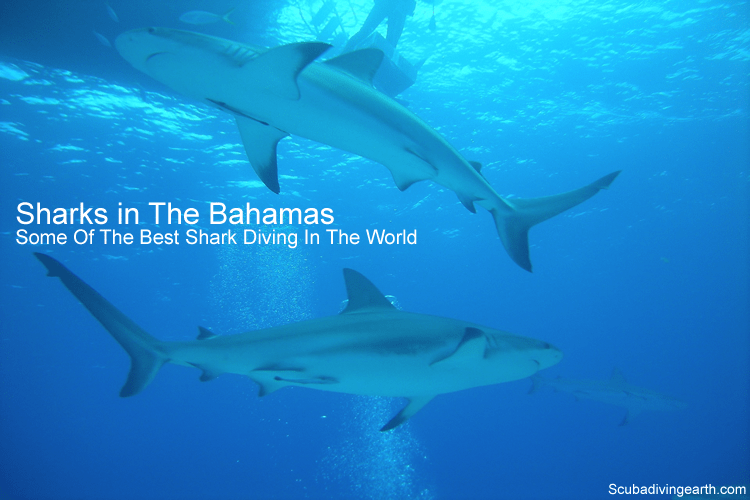 Sharks in The Bahamas - some of the best shark diving in the world