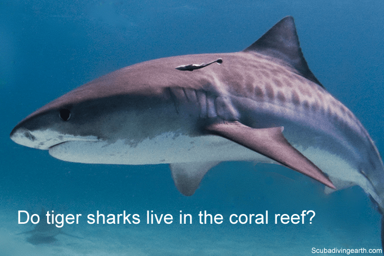 Do tiger sharks live in the coral reef