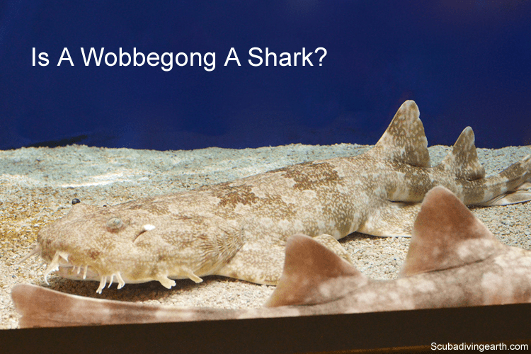 Is a Wobbegong a shark