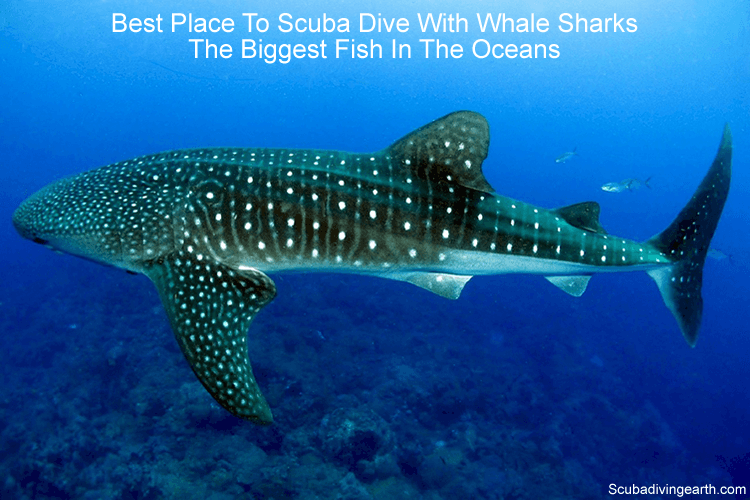 Best Place To Scuba Dive With Whale Sharks - The Biggest Fish In The Oceans