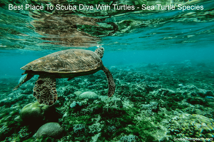 Best place to scuba dive with turtles - Sea Turtle Species