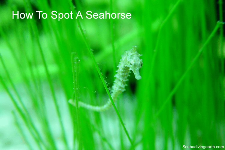 How to spot a seahorse