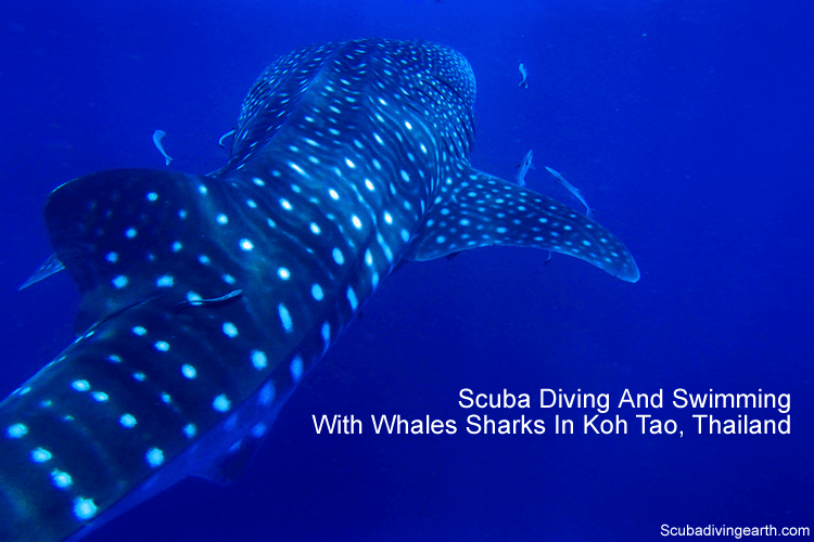 Scuba Diving And Swimming with whale sharks in Koh Tao Thailand