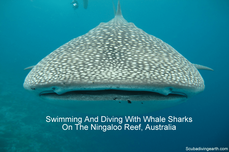 Swimming and diving with whale sharks on the Ningaloo Reef Australia