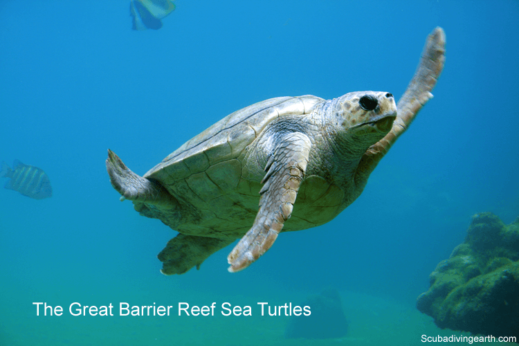 The Great Barrier Reef sea turtles is one of the best places to scuba dive with turtles