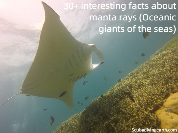 30+ interesting facts about manta rays - Oceanic giants of the seas