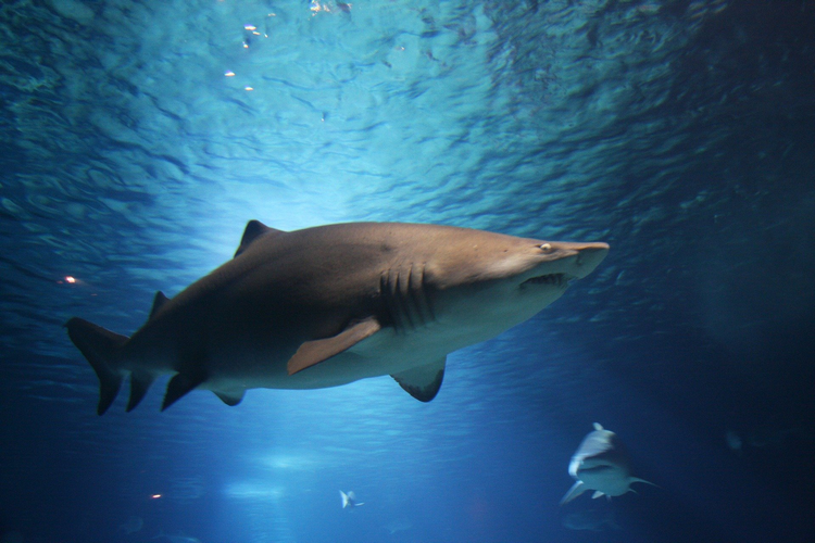 Are There Any Sharks In Myrtle Beach - Common Sharks - Sand Tiger shark