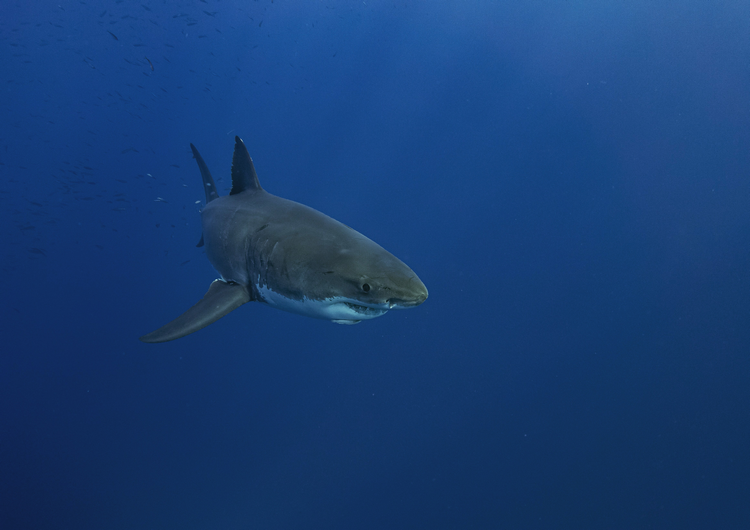 Are There Great White Sharks In The Caribbean larger