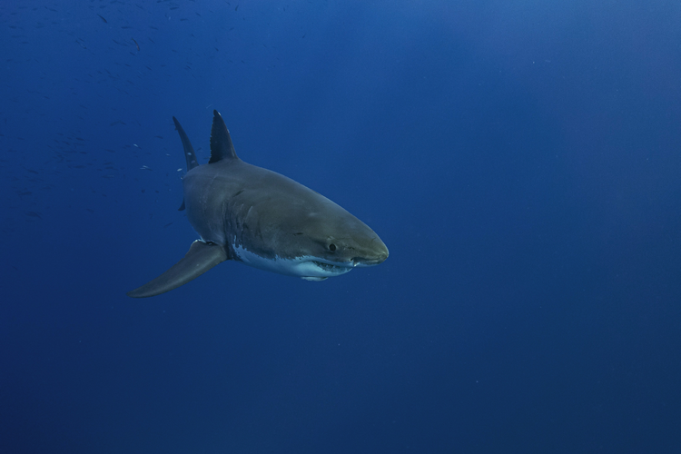 Are There Great White Sharks In The Great Barrier Reef large