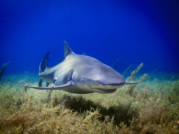 Are bull sharks aggressive: Do they attack people on purpose?