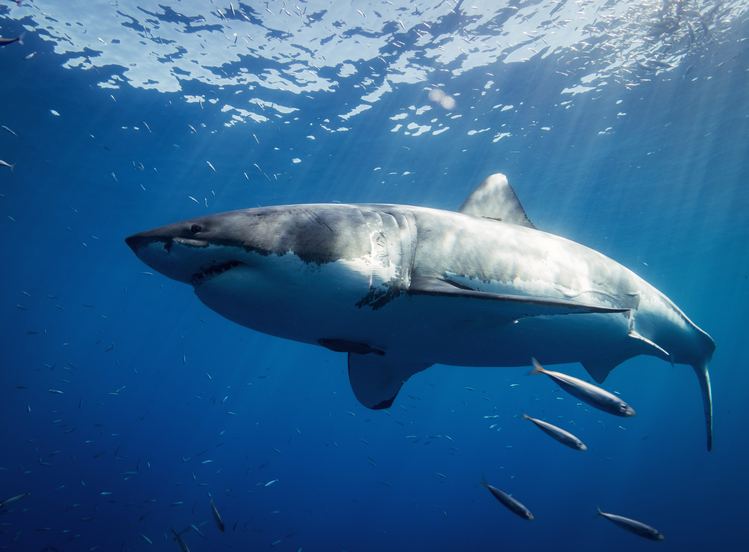 Great White Shark - Are there great white sharks in Hawaii