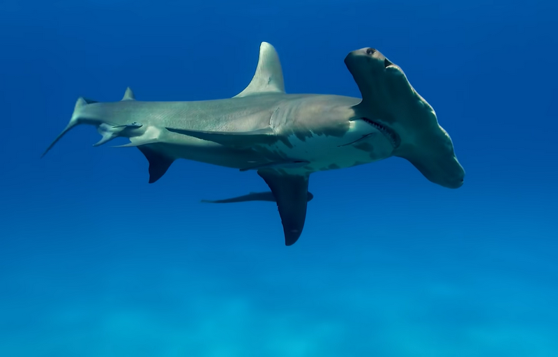 Great Hammerhead Shark - Are Hammerhead Sharks Aggressive: Do They Attack People