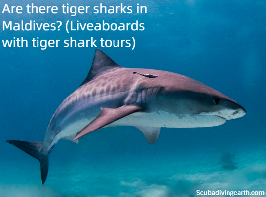 Are there tiger sharks in Maldives - Liveaboards with tiger shark tours