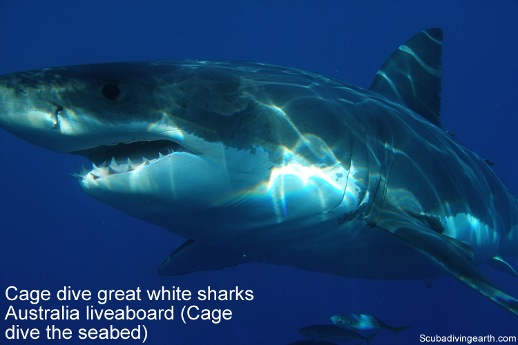 Cage dive great white sharks Australia liveaboard - Cage dive the seabed