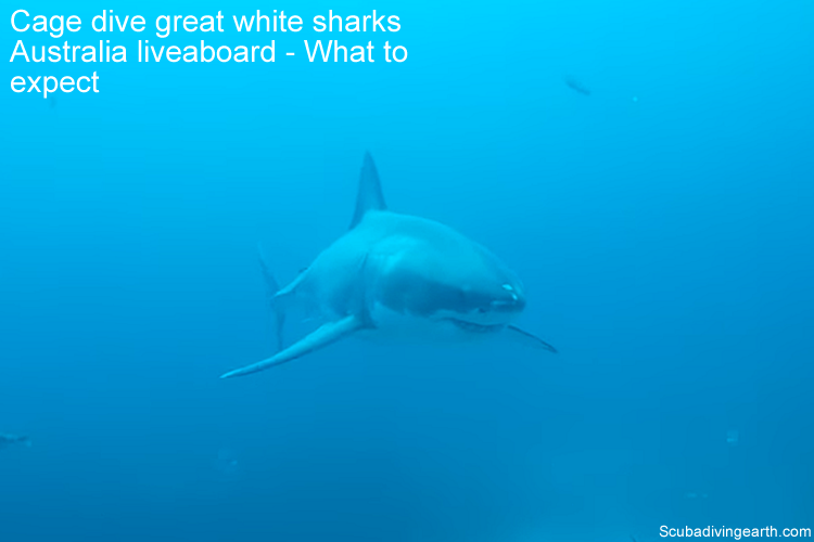 Cage dive great white sharks Australia liveaboard - What to expect