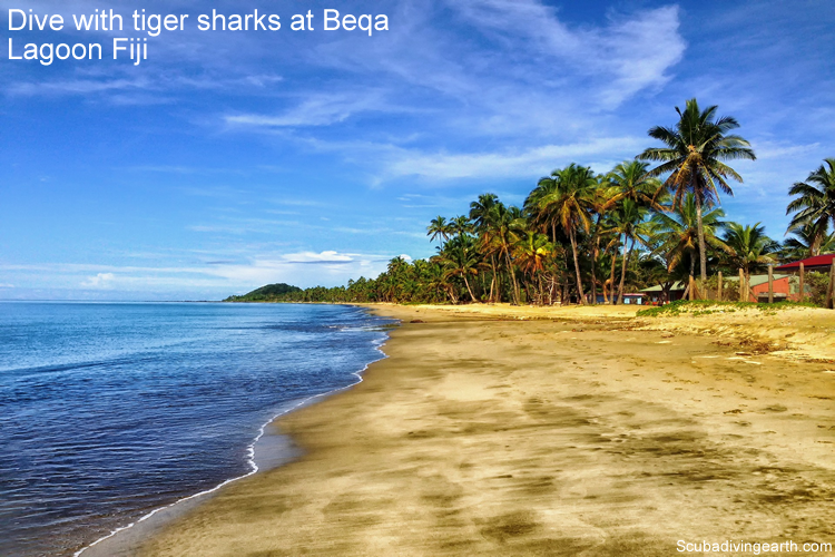 Dive with tiger sharks at Beqa Lagoon Fiji