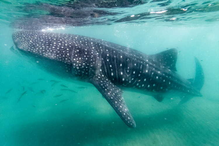 Diving with whale sharks in Belize Gladden Spit