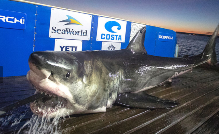Great white shark Ocearch research with tracker on dorsal fin