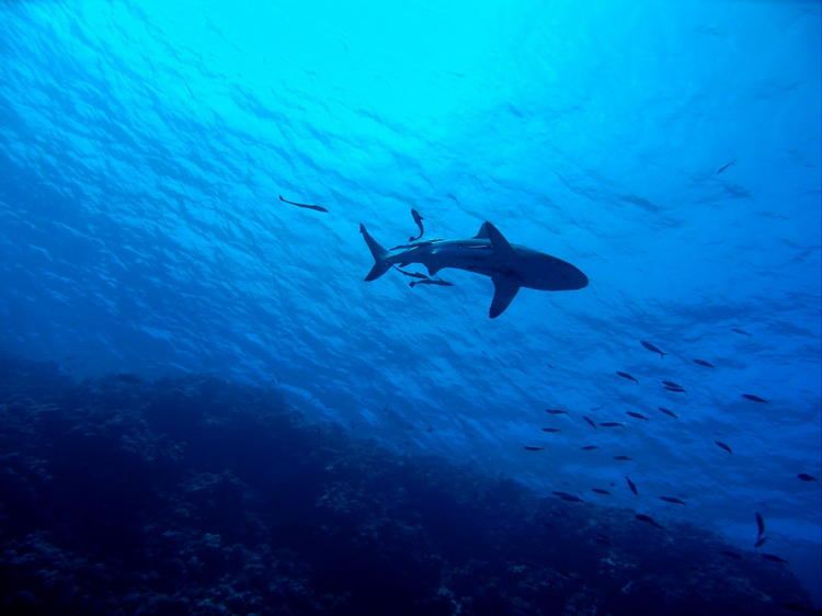 How likely is a shark to attack you - shark in open water