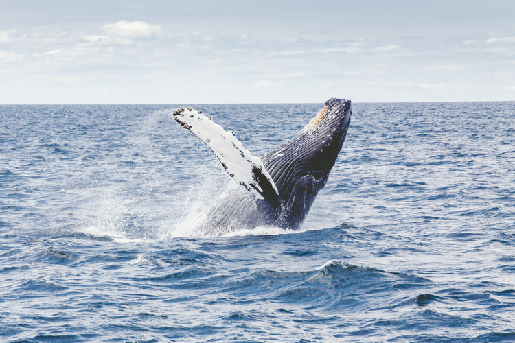 Humpback Whales and Dolphins at Rowley Shoals