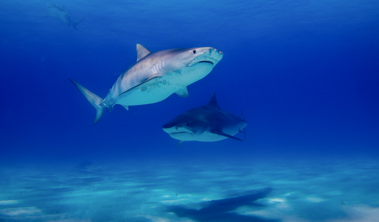 Is it safe to dive with tiger sharks