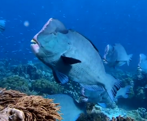 Scuba diving the Indonesian Forgotten Islands by liveaboard - bump head parrot fish small
