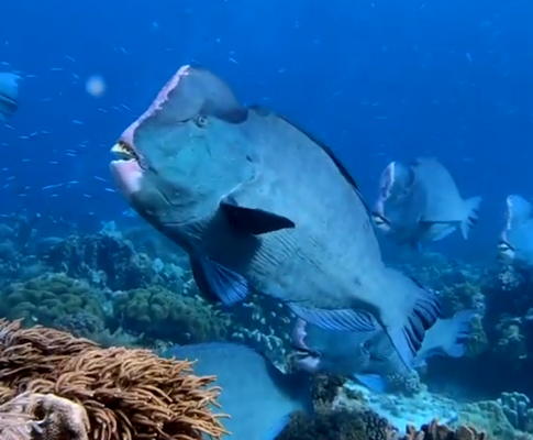 Scuba diving the Indonesian Forgotten Islands by liveaboard - bump head parrot fish