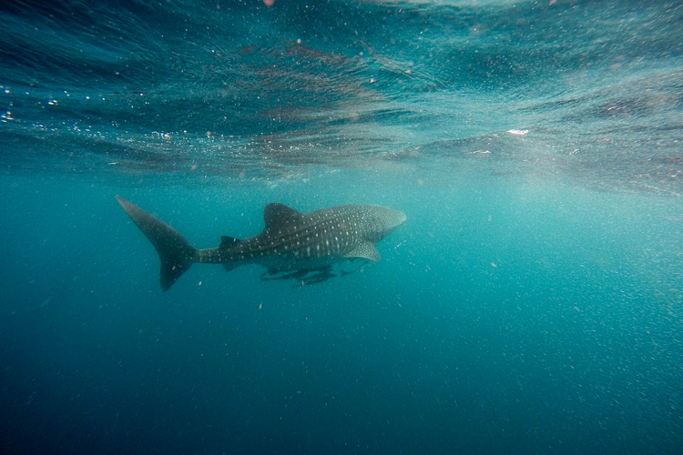 Scuba diving with whale sharks in the Bay Islands in Honduras