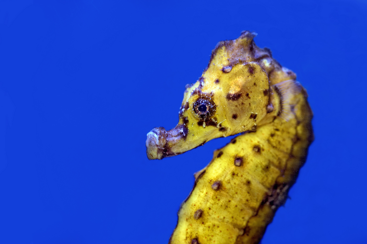 Seahorse close-up - a very cute underwater animal