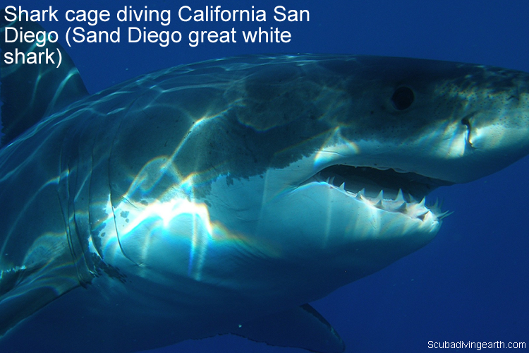 Shark cage diving California San Diego - Sand Diego great white shark
