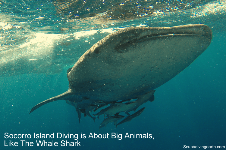 Socorro Island Diving is About Big Animals like whale sharks