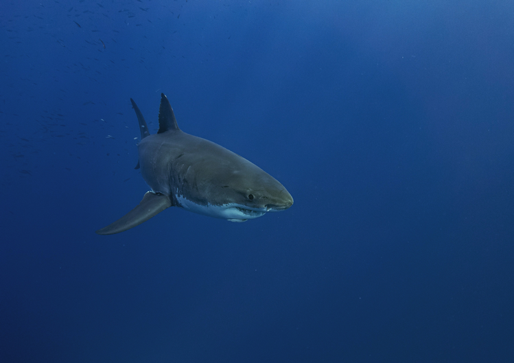 Stewart Island New Zealand great white sharks cage diving
