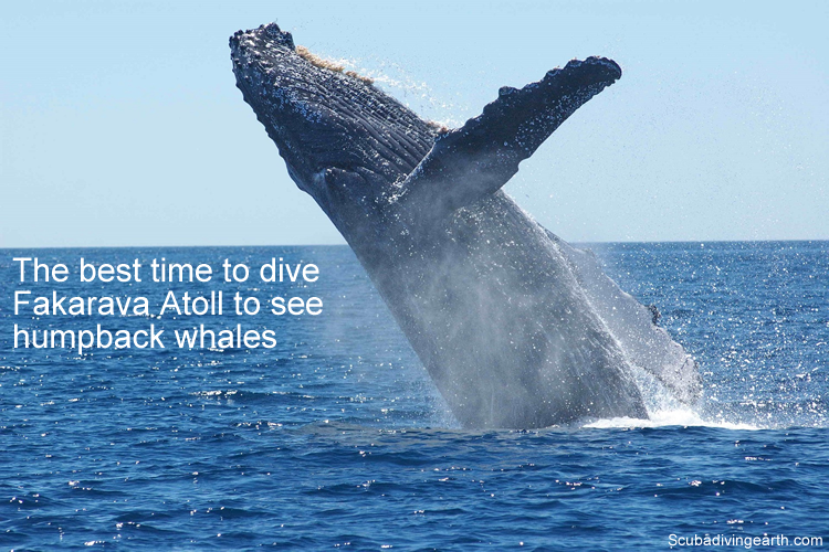 The best time to dive Fakarava Atoll to see humpback whales large