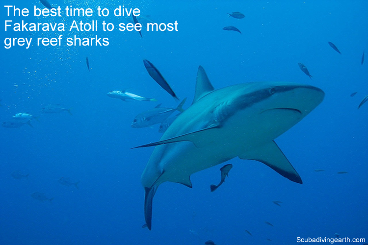 The best time to dive Fakarava Atoll to see most grey reef sharks