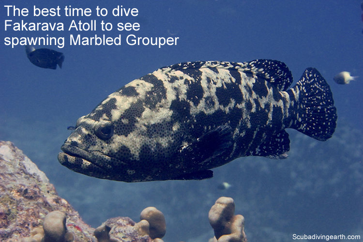The best time to dive Fakarava Atoll to see spawning Marbled Grouper