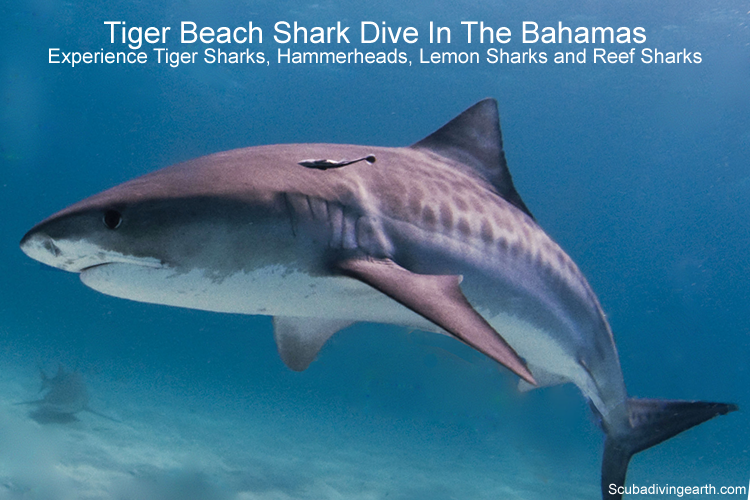 Tiger Beach shark dive the Bahamas
