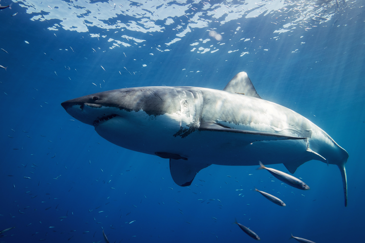 Video of a great white shark calmly swimming by snorkeler off Lady Elliot Island