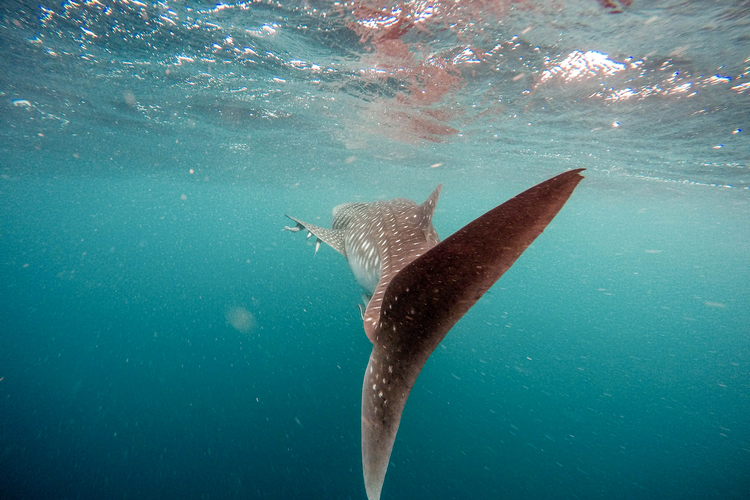 Whale sharks around Tofo Beach in Mozambique