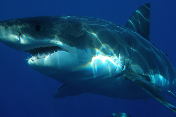 What are three interesting facts about the great white shark large