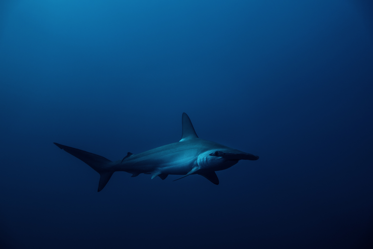 What will you see diving Elphinstone Reef - hammerhead sharks