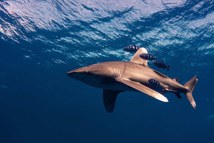 Oceanic Whitetip shark - When is the best time to dive the Red Sea