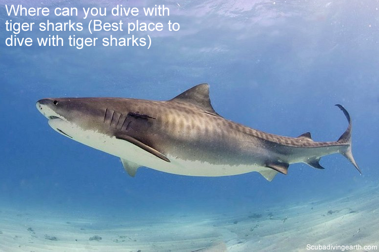 Where can you dive with tiger sharks - Best place to dive with tiger sharks
