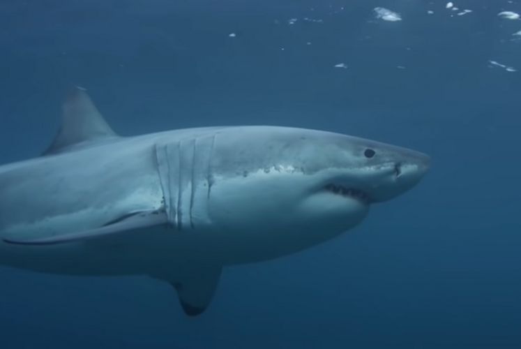 Where to find great white sharks