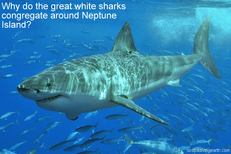 Why do the great white sharks congregate around Neptune Island large